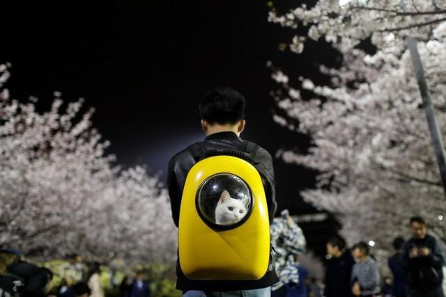 Một người đàn ông mang theo chú mèo cưng khi đang dạo chơi dưới những cây hoa anh đào tại Đại học Đồng Tế ở Thượng Hải, Trung Quốc, ngày 4 tháng 4.