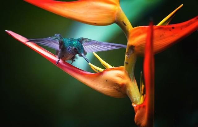 Bữa ăn nhanh buổi sáng của chim ruồi. (Nguồn: NatGeo)