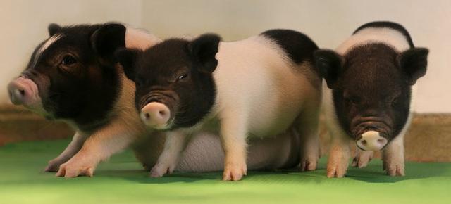 Những con lợn không chứa virus PERV của eGenesis