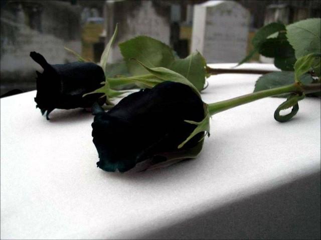 Một số hình ảnh về hoa hồng đen, nhưng không có bằng chứng xác thực về sự tồn tại của loài hoa này.