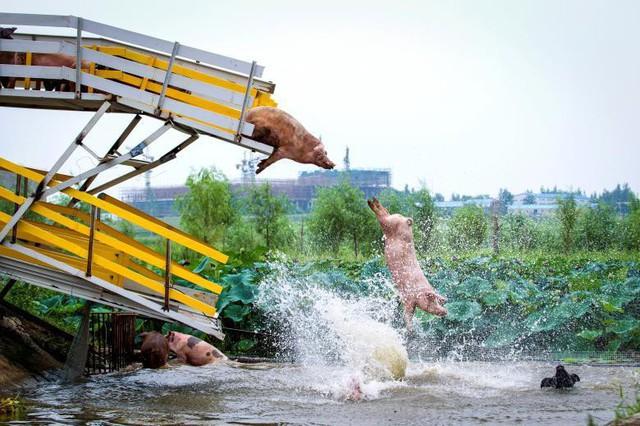 Những chú lợn ở trang trại tại thành phố Thẩm Dương, tỉnh Liêu Ninh, Trung Quốc được các nhà lai tạo giống đưa đi tập thể dục, chạy và nhảy xuống nước, tháng 8 năm 2017.