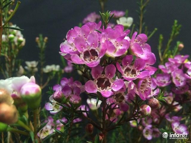 Hoa thanh liễu có giá 400.000 đồng/cây