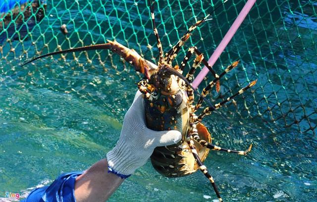 Nghề nuôi tôm hùm, cá bớp, hàu sữa ở vùng biển Sa Huỳnh - Ảnh 5.