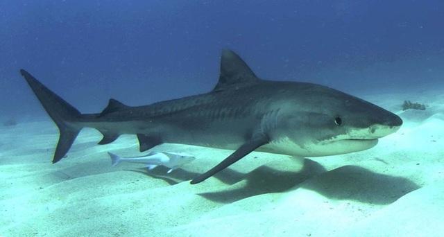 Cá mập rất khó để đánh bắt và không phải vùng biển nào cũng có.
