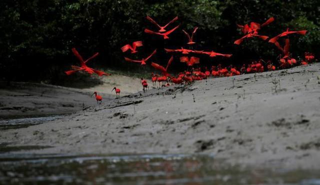 Những chú Cò quăm đỏ đang bay gần bờ một đầm lầy ngập mặn nằm ở cửa sông Calcoene trên bờ biển của bang Amapa, miền bắc Brazil vào ngày 6 tháng 4.