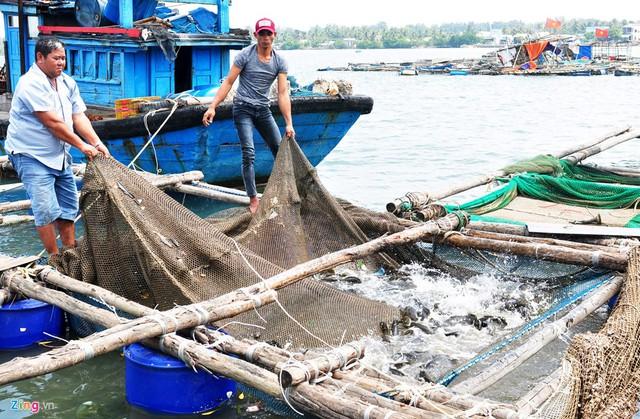 Nghề nuôi tôm hùm, cá bớp, hàu sữa ở vùng biển Sa Huỳnh - Ảnh 6.