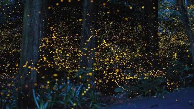 Đêm vũ hội của bầy đom đóm như muốn đốt cháy cả màn đêm yên tĩnh trong một khu rừng ở Nhật Bản.