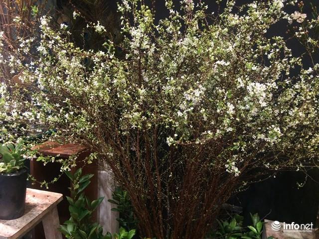 Những cành hoa mai tuyết nhập khẩu từ Nhật Bản giá bán 250.000 đồng/cành rất đẹp mắt.