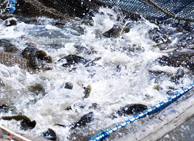 Nghề nuôi tôm hùm, cá bớp, hàu sữa ở vùng biển Sa Huỳnh - Ảnh 8.