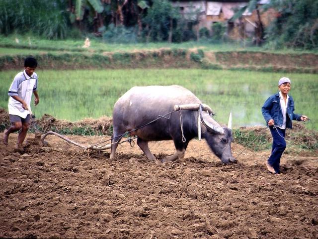 [A Tùng] Chuyên gia Phạm Chi Lan: Mở rộng hạn điền sẽ là chìa khóa để nông nghiệp Việt thoát cảnh con trâu đi trước, cái cày đi sau, nhưng... - Ảnh 1.