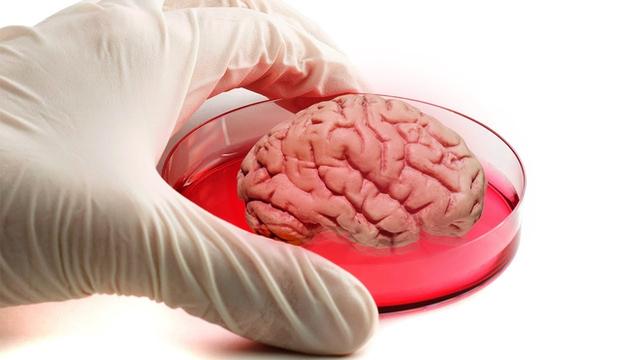Các nhà khoa học Mỹ nuôi được bộ não mini sống tới 9 tháng trong ống nghiệm - Ảnh 1.