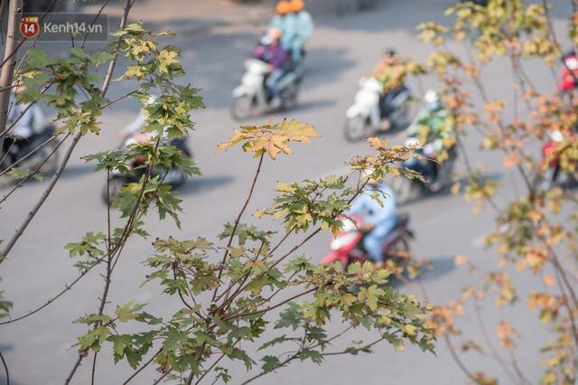 Hàng cây phong lá đỏ củi khô trước đây đã nhuộm sắc vàng đầu thu Hà Nội - Ảnh 11.