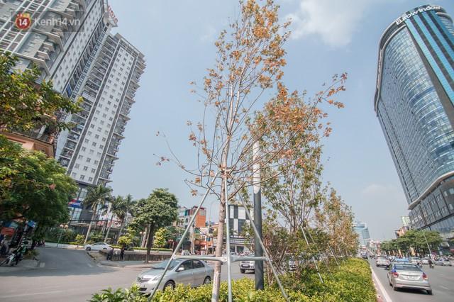 Hàng cây phong lá đỏ củi khô trước đây đã nhuộm sắc vàng đầu thu Hà Nội - Ảnh 4.