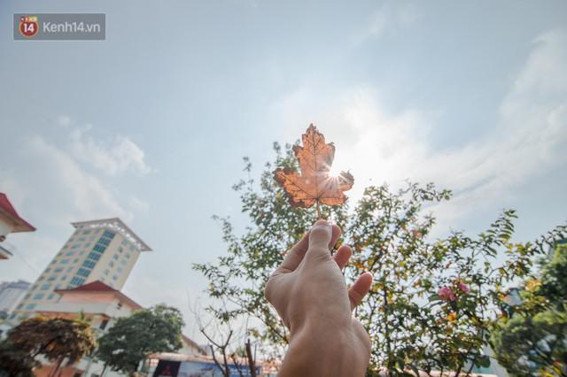 Hàng cây phong lá đỏ củi khô trước đây đã nhuộm sắc vàng đầu thu Hà Nội - Ảnh 8.