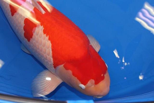 Đây là nữ hoàng cá Koi đắt nhất thế giới với giá gần 42 tỷ đồng - Ảnh 2.