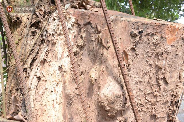 Ly kỳ chuyện cây sưa giá trăm tỷ ở Hà Nội, người dân mất ăn mất ngủ thay nhau canh giữ, mặc áo giáp sắt để chống kẻ trộm - Ảnh 5.
