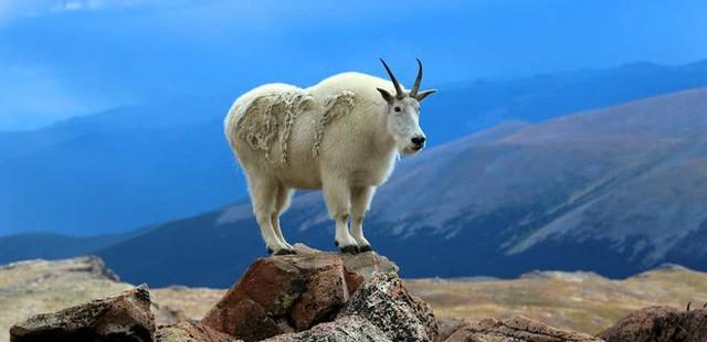 Mỹ: vườn quốc gia phải di dời hàng trăm con dê vì rình mò du khách đi vệ sinh - Ảnh 1.