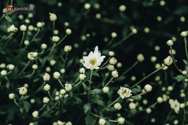 Cúc hoạ mi vào vụ mùa, nông dân Hà Nội hớn hở chào mừng khách đến mua hoa và chụp ảnh - Ảnh 2.