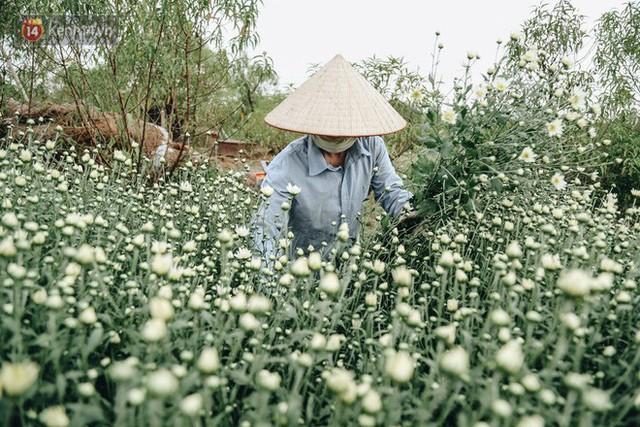 Cúc hoạ mi vào vụ mùa, nông dân Hà Nội hớn hở chào mừng khách đến mua hoa và chụp ảnh - Ảnh 16.