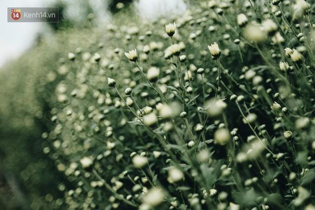 Cúc hoạ mi vào vụ mùa, nông dân Hà Nội hớn hở chào mừng khách đến mua hoa và chụp ảnh - Ảnh 3.
