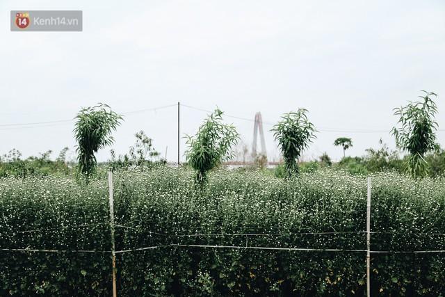 Cúc hoạ mi vào vụ mùa, nông dân Hà Nội hớn hở chào mừng khách đến mua hoa và chụp ảnh - Ảnh 5.