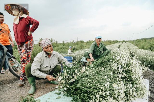 Cúc hoạ mi vào vụ mùa, nông dân Hà Nội hớn hở chào mừng khách đến mua hoa và chụp ảnh - Ảnh 10.