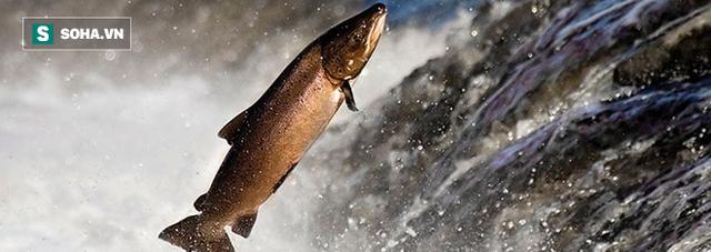 Vì sao cá hồi liều mạng vượt sông, băng qua cả đường phố ở Washington? - Ảnh 1.