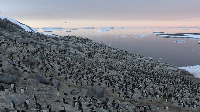 Lượng phân khổng lồ có thể thấy từ vũ trụ làm lộ ra đàn chim cánh cụt 1,5 triệu con gần Nam Cực - Ảnh 1.