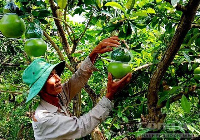 Trái cây độc bán Tết giá bạc triệu mỗi cặp - Ảnh 11.
