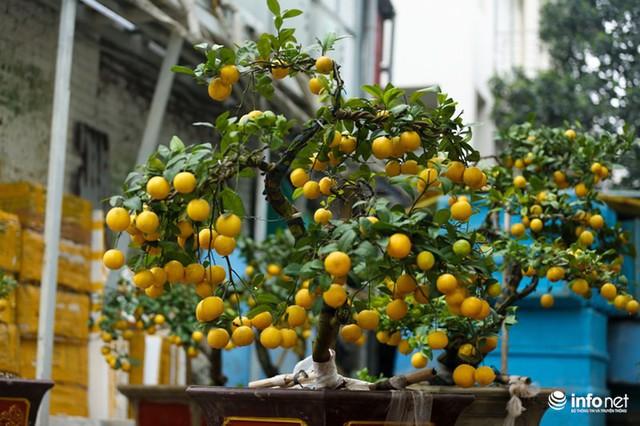 Người Hà Nội rủ nhau tậu chanh vàng tứ quý đặc biệt giá 15 triệu đồng/cây - Ảnh 13.