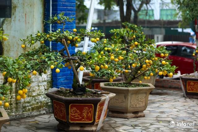 Người Hà Nội rủ nhau tậu chanh vàng tứ quý đặc biệt giá 15 triệu đồng/cây - Ảnh 10.