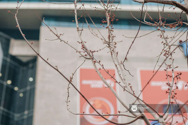 Hà Nội: Hàng cây phong lá đỏ từng được ví như những cành củi khô bắt đầu nảy lộc đúng dịp Tết - Ảnh 2.