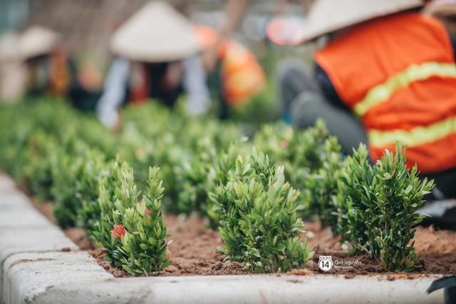 Hà Nội: Hàng cây phong lá đỏ từng được ví như những cành củi khô bắt đầu nảy lộc đúng dịp Tết - Ảnh 12.