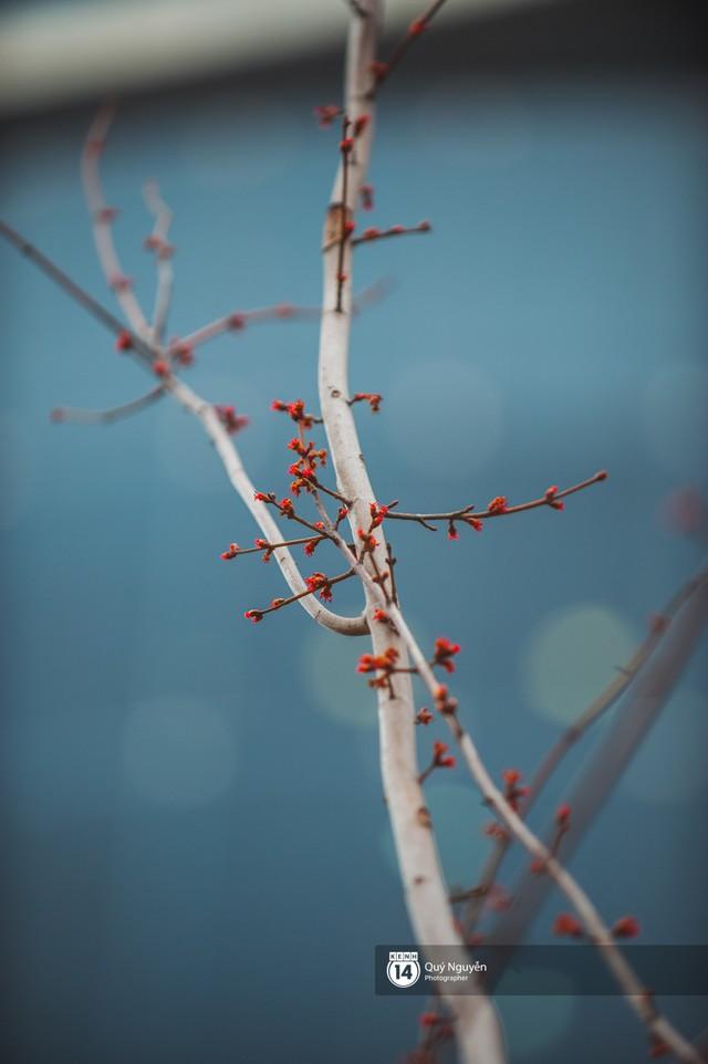 Hà Nội: Hàng cây phong lá đỏ từng được ví như những cành củi khô bắt đầu nảy lộc đúng dịp Tết - Ảnh 4.