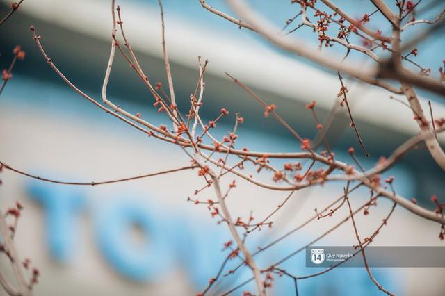 Hà Nội: Hàng cây phong lá đỏ từng được ví như những cành củi khô bắt đầu nảy lộc đúng dịp Tết - Ảnh 5.