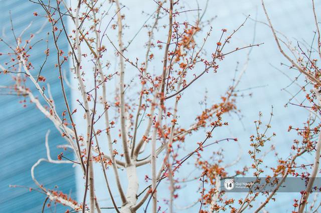 Hà Nội: Hàng cây phong lá đỏ từng được ví như những cành củi khô bắt đầu nảy lộc đúng dịp Tết - Ảnh 7.