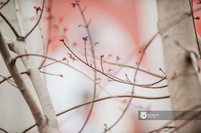 Hà Nội: Hàng cây phong lá đỏ từng được ví như những cành củi khô bắt đầu nảy lộc đúng dịp Tết - Ảnh 8.