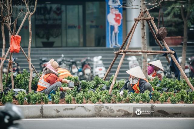 Hà Nội: Hàng cây phong lá đỏ từng được ví như những cành củi khô bắt đầu nảy lộc đúng dịp Tết - Ảnh 9.