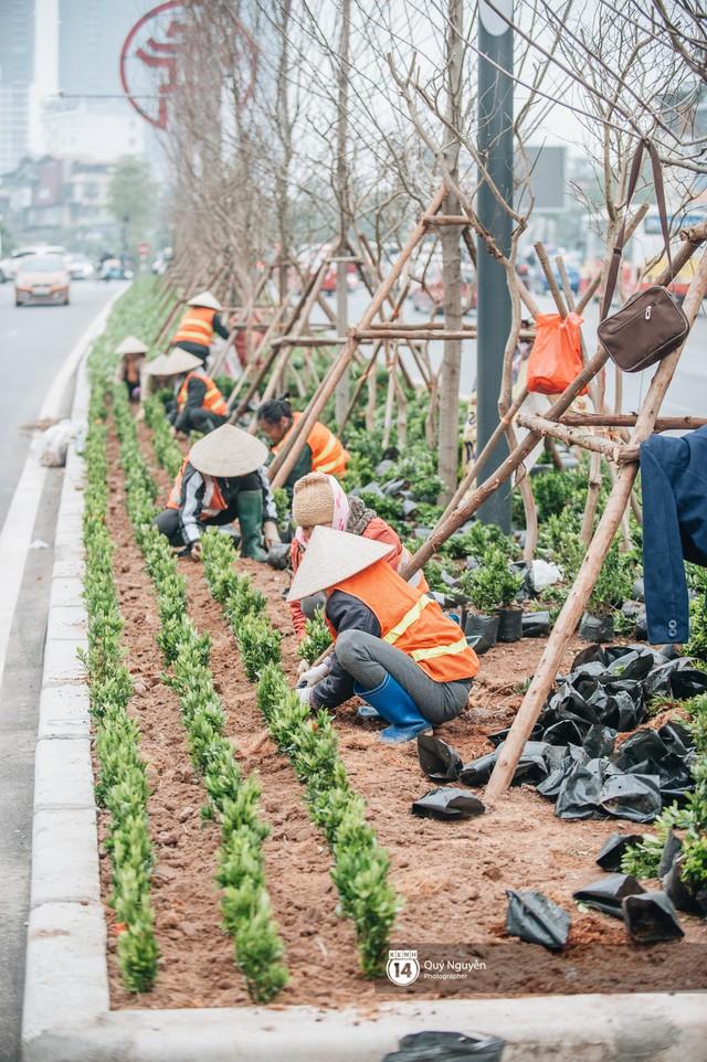 Hà Nội: Hàng cây phong lá đỏ từng được ví như những cành củi khô bắt đầu nảy lộc đúng dịp Tết - Ảnh 10.