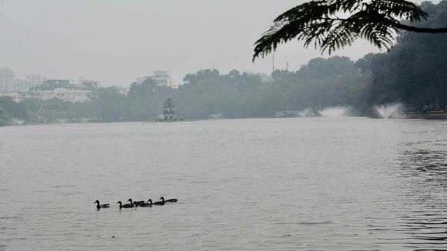 Hà Nội sẽ thông báo rộng rãi tìm chủ nhân của đàn vịt ở Hồ Gươm - Ảnh 3.