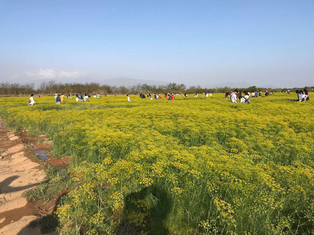 Cánh đồng hoa thì là ở Ninh Thuận vừa mở cửa 4 ngày đã vội vàng đóng cửa do bị khách tham quan giẫm đạp - Ảnh 8.