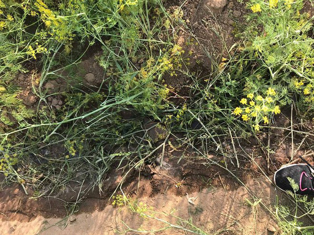 Cánh đồng hoa thì là ở Ninh Thuận vừa mở cửa 4 ngày đã vội vàng đóng cửa do bị khách tham quan giẫm đạp - Ảnh 3.
