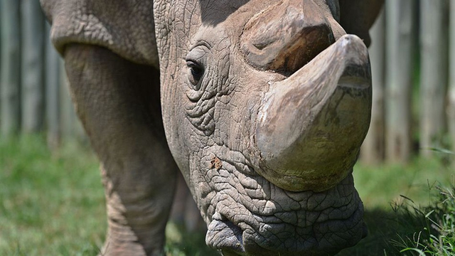 Sudan, con tê giác trắng đực cuối cùng trên trái đất đã chết - Ảnh 3.