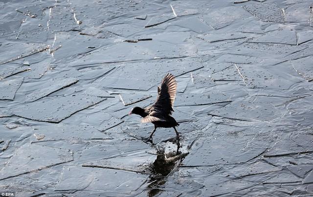 Châu Âu giá rét khủng khiếp, chim bói cá chết cứng khi xuống nước săn mồi - Ảnh 4.