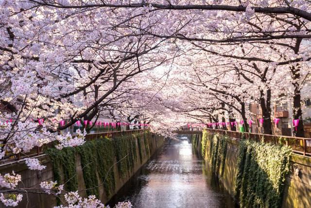 Chuyến tàu hoa anh đào có một không hai tại Nhật Bản: May mắn lắm mới lên được, nghìn chuyến chỉ có 1 khoang đẹp như mơ - Ảnh 5.