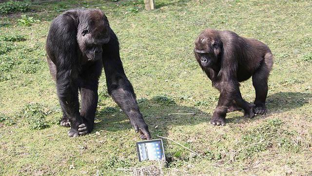 Những cú lừa Cá Tháng Tư tưởng đùa mà hóa thật: Khỉ đột sử dụng iPad, đưa con người lên sao Hoả - Ảnh 1.