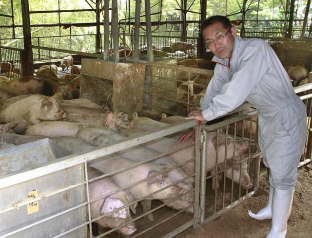 Kỳ lạ trang trại cho lợn uống trà xanh thay nước của nông dân Nhật Bản - Ảnh 1.