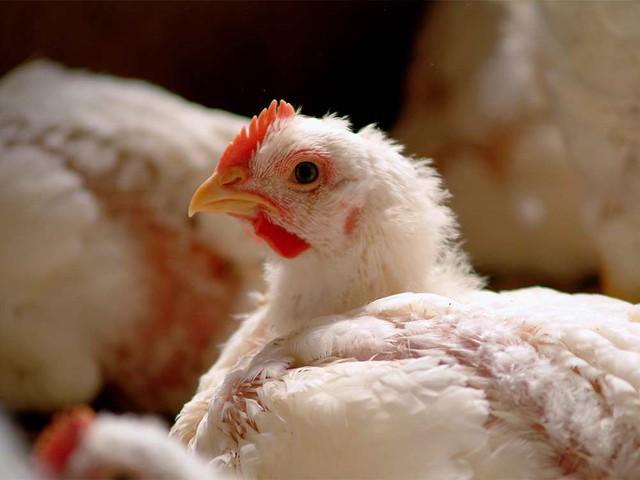Case study kinh điển ở Harvard: Gã điên đốt tiền tấn để nghiên cứu kỹ làm kính áp tròng cho… gà, cung ứng cho đa số trại gà lớn khắp nước Mỹ và trở thành triệu phú đô la - Ảnh 3.