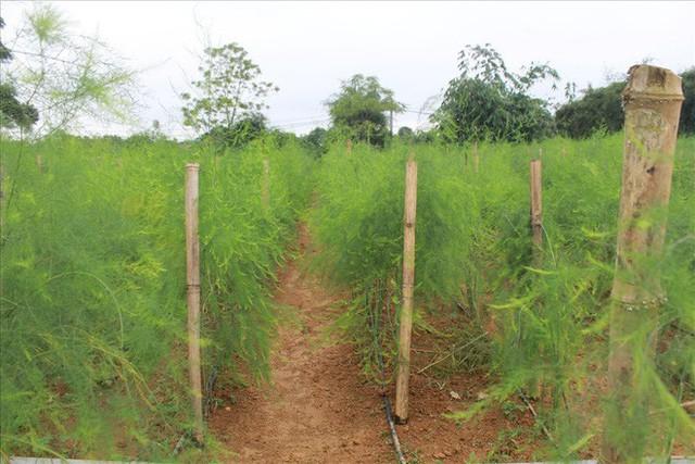 Chiêm ngưỡng vườn măng tây cho thu nhập gần 2 tỷ/năm - Ảnh 3.