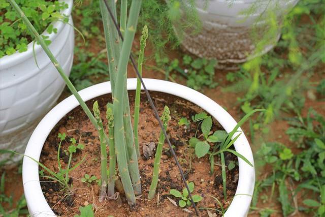 Chiêm ngưỡng vườn măng tây cho thu nhập gần 2 tỷ/năm - Ảnh 7.